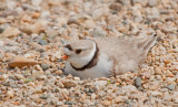Piping-Plover-4634.jpg