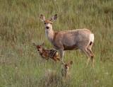 Mule-Deer-4759.jpg