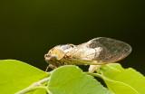 Cicada_5910.jpg