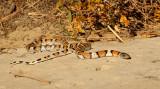 milk snake_6838.jpg
