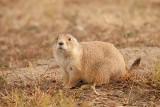 black-tailed prairie dog_6447.jpg