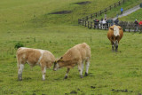 Cattle on the grounds of the Cliffs of Moher visitor center (3355)
