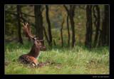 0325 fallow deer