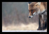 8944 fox in rain