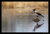 1614 hooded crow