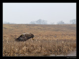 2194 white tailed eagle flying away