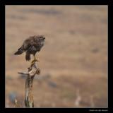2510 buzzard