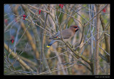 6256 bohemian waxwing eating berry
