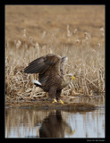 1497 landing white tailed eagle