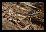 9791 viper female