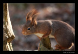 3351 red squirrel
