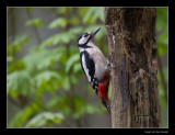 1288 great spotted woodpecker