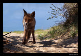 3628 fox