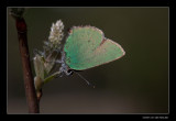 1228 green hairstreak
