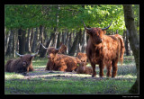 5172 highland cows