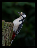 9760 great spotted woodpecker