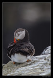 0424 puffin