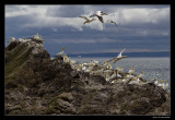 7699 gannets on Bass Rock