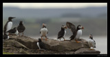 8835 puffins on rocks