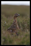 3527 red grouse