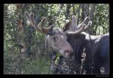 5385 moose