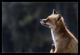 0588 scratching fox