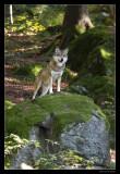 0522 wolf (C)