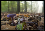 1347 amethyst deceiver in beech forest