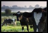 7227 Dutch cows