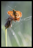 2407 silver-bordered fritilary