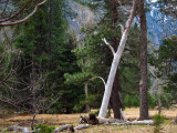 White (dead?) tree  #3758