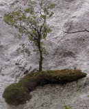 Tree on its own place on side of a large rock, Day 2. SX #2281