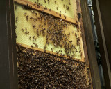 Full zoom - Bee hive behind glass,  #00390