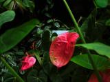 Araceae.  #00398