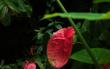 Araceae with sign less visible.  #00400
