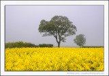Rape Field in the Fog