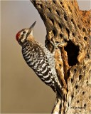 Ladder-backed Woodpecker