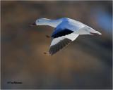 Snow Goose  (Backlit)