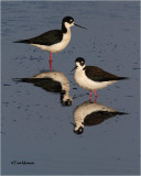 -Black-necked Stilts