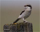 Loggerhead Shrike  (Juv)