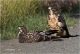 Swainson's Hawks  (Juveniles}