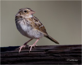 Grasshopper Sparrow  (juvenile)