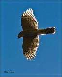 Sharp-shinned Hawk  (backlit)