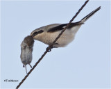 Northern Shrike / Vole