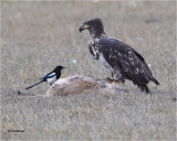 American  Magpie / Bald Eagle