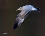 California Gull  (2nd winter bird)