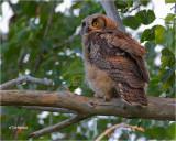 Great Horned Owl   Fledgling: