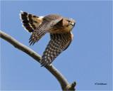 Merlin  (fledgling)