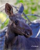 Moose  {yearling}