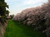 Sakura along the outer castle moat